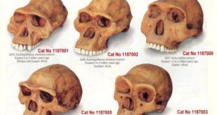 skulls-hominid-564x400